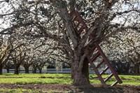 A Ladder In An Orchard Tree, Oregon Fine Art Print