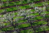Rows Of Orchard Trees, Oregon Fine Art Print