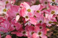 Pink Flowering Dogwood Fine Art Print