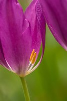 Detail Of Purple Tulips Fine Art Print