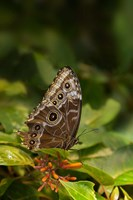 Giant Owl Butterfly On A Leaf Fine Art Print