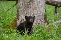 Black Bear Cub Next To A Tree Fine Art Print