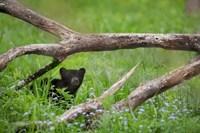 Black Bear Cub Under Branches Fine Art Print