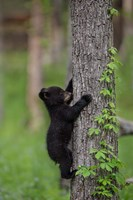 Black Bear Cub Climbing A Tree Fine Art Print