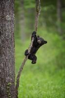 Black Bear Cub Playing On A Tree Limb Fine Art Print