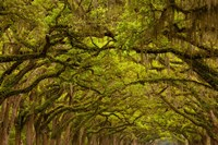 Oaks Covered In Spanish Moss, Savannah, Georgia Fine Art Print