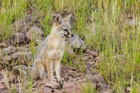 Gray Fox On A Hillside Fine Art Print