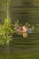 Mottled Duckling In A Pond Fine Art Print