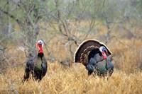 Rio Grande Wild Turkeys Fine Art Print