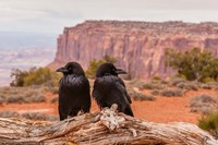 Pair Of Ravens On A Log Fine Art Print