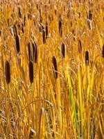 Cattails In A Field, Utah Fine Art Print