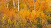 Autumn Forest Landscape Of The Manti-La Sal National Forest, Utah Fine Art Print