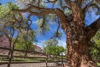 Old Cottonwood Tree And Fence Fine Art Print