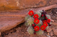 Red Flowers Of A Claret Cup Cactus In Bloom Fine Art Print