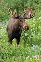 Bull Moose In Wildflowers, Utah Fine Art Print
