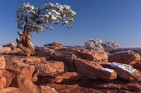 Lone Pine At Dead Horse Point, Canyonlands National Park, Utah Fine Art Print