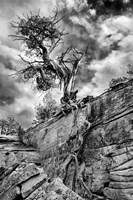 Desert Juniper Tree Growing Out Of A Canyon Wall, Utah (BW) Fine Art Print