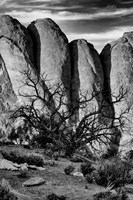 Gnarled Tree Against Stone Fins, Arches National Park, Utah (BW) Fine Art Print