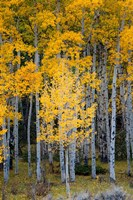 Yellow Aspens In The Flaming Gorge National Recreation Area, Utah Fine Art Print