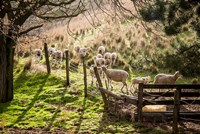 Sheep And Spring Lambs Fine Art Print