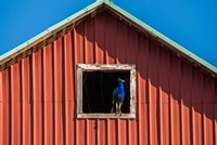 Peacock In A Barn Window Fine Art Print