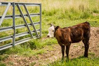 Cow At Pasture Fine Art Print