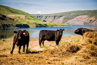 Cows On The Northern Bank Of Snake River Fine Art Print