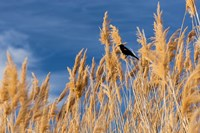 Red-Winged Blackbird On Ravenna Grass Fine Art Print