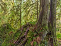Western Red Cedar Growing On A Boulder, Washington State Fine Art Print