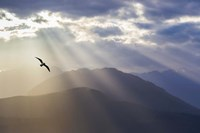 Seagull And God Rays Over The Olympic Mountains Fine Art Print