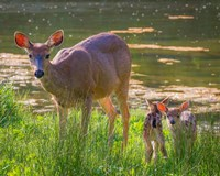 Blacktail Deer With Twin Fawns Fine Art Print