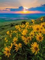Landscape With Douglas' Sunflowers In The Palouse Hills Fine Art Print
