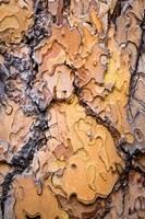 Ponderosa Pine Tree Bark Detail Fine Art Print