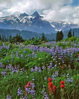 Lupine And Paintbrush In Meadow, Mount Rainder Nationak Park Fine Art Print