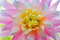 Close-Up Of A Pastel Dahlia Flower Fine Art Print