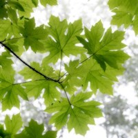 Big Leaf Maples In Summer Fine Art Print