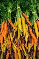 Display Of Carrot Varieties Fine Art Print