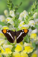 California Sister Butterfly On Yellow And White Snapdragon Flowers Fine Art Print