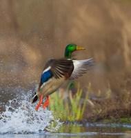 Mallard Duck Takes Flight Off Lake Washington Fine Art Print
