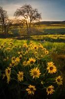 Arrowleaf Balsamroot Wildflowers At Columbia Hills State Park Fine Art Print