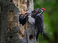 Pileated Woodpecker Aside Nest With Two Begging Chicks Fine Art Print