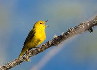 Yellow Warbler Sings From A Perch Fine Art Print