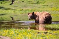 American Black Bear Takes A Cool Bath Near Mystic Lake Fine Art Print