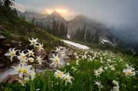 Avalanche Lilies Along A Small Stream Below Plummer Peak Fine Art Print