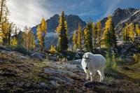 Adult, Male Mountain Goat Fine Art Print
