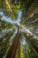 Tall Conifers At The  Grove Of The Patriarchs, Mt Rainier National Park Fine Art Print