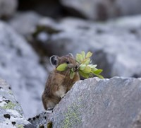 American Pika Collecting Leaves Fine Art Print