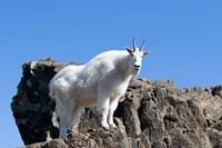 Mountain Goat Climbing Rocks Fine Art Print