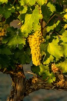Viognier Grapes In A Vineyard Fine Art Print