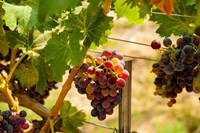 Merlot Grapes In A Vineyard Fine Art Print